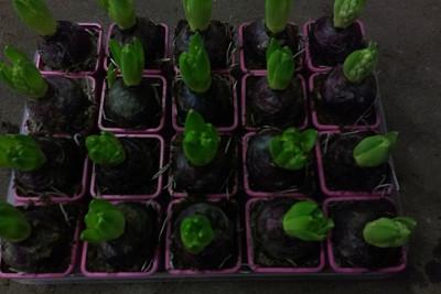 p9 hyacinthen