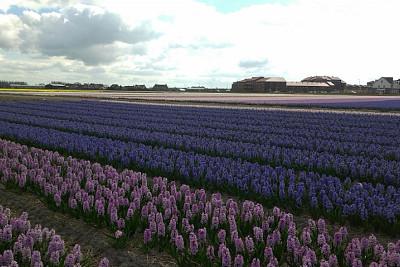 veld hyacinthen