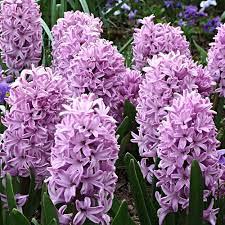 Hyacinthus Splendit cornelia